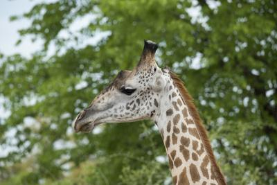 Africa, Zambia, South Luangwa National Park, during green season. Thornicroft's giraffe.-Cindy Miller Hopkins-Photographic Print