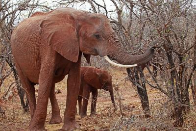 Africa, Zimbabwe, Bumi Hills. Elephants of MatUSAdona Park-Kymri Wilt-Photographic Print