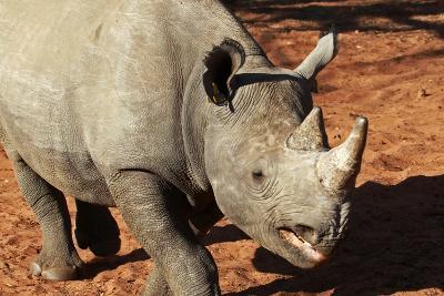 Africa, Zimbabwe, Victoria Falls. Black Rhinoceros-Kymri Wilt-Photographic Print