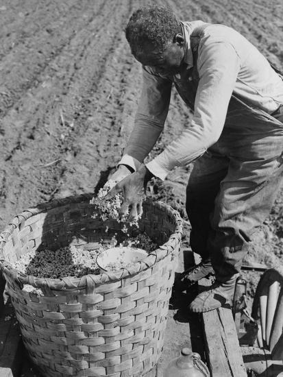 African American Farmer Planting Cotton in a Plowed Field in Butler County, Alabama, April 1941--Photo