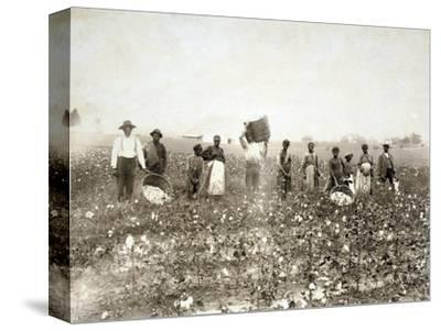 African American Men, Women, and Children, Employed as Cotton Pickers in North Carolina, 1900