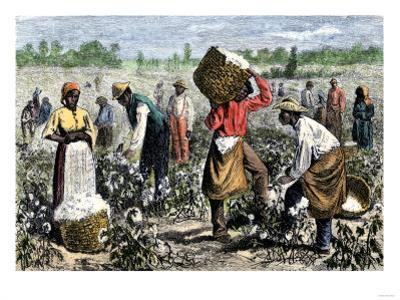 African-American Slaves Picking Cotton