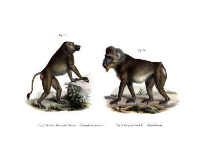 African Baboon, 1860--Giclee Print