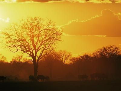 African Buffalo, Feeding at Sunset, Hwange National Park, Zimbabwe-Pete Oxford-Photographic Print