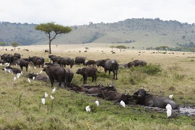 African Buffalo, Masai Mara, Kenya-Sergio Pitamitz-Framed Photographic Print