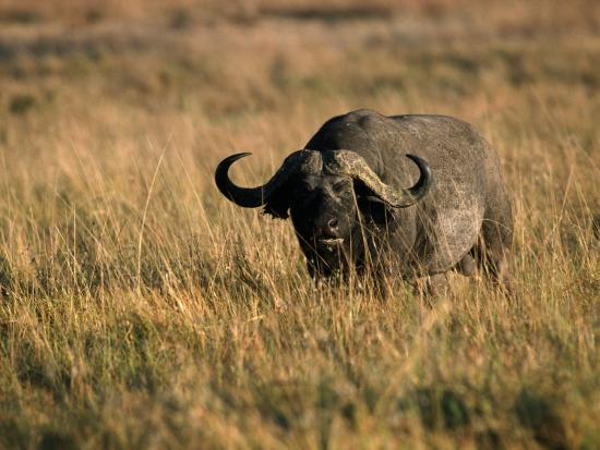 African Buffalo-Jeff Foott-Photographic Print