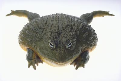 African Bullfrog-DLILLC-Photographic Print