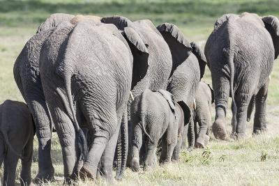 African Bush Elephant Herd, Amboseli National Park, Kenya-Martin Zwick-Photographic Print