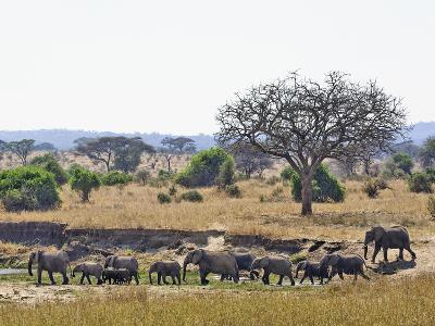 African Bush Elephants (Loxodonta Africana), Tarangire National Park, Tanzania, Africa-Adam Jones-Photographic Print