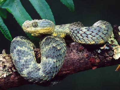 African Bush Viper-David Northcott-Photographic Print