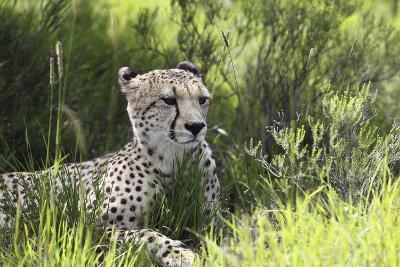 African Cheetah 011-Bob Langrish-Photographic Print