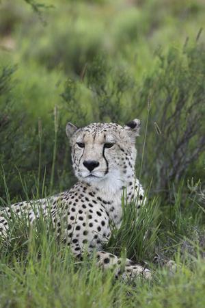 https://imgc.artprintimages.com/img/print/african-cheetah-014_u-l-q12ttmo0.jpg?p=0
