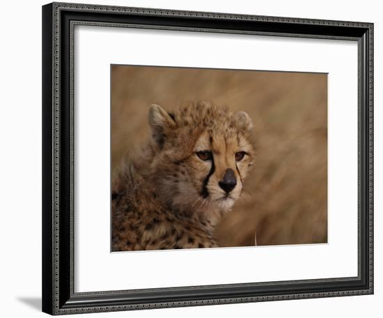 African Cheetah Cub-Michael Nichols-Framed Photographic Print