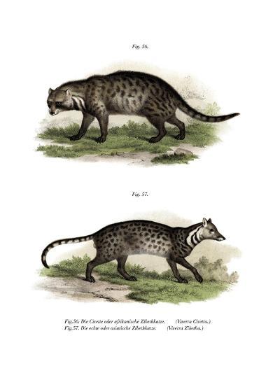 African Civet, 1860--Giclee Print