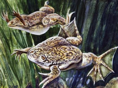African Clawed Frog or Xenopus (Xenopus Laevis), Pipidae--Giclee Print