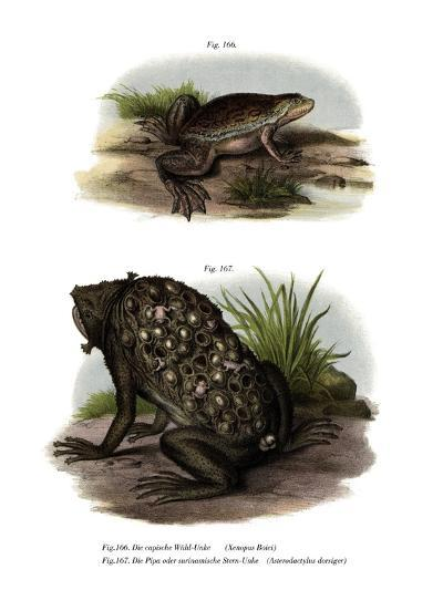 African Clawed Frog--Giclee Print