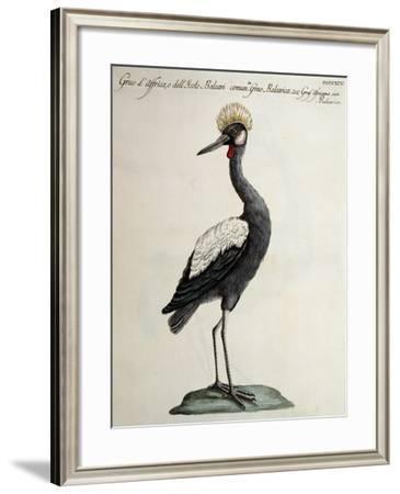 African Crane or Balearic Islands Crane--Framed Giclee Print