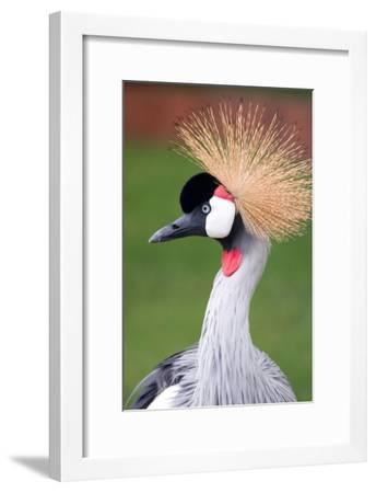 African Crown Crane-Lantern Press-Framed Art Print