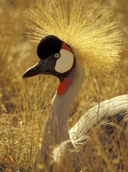 African Crowned Crane, South Africa-Michele Westmorland-Photographic Print