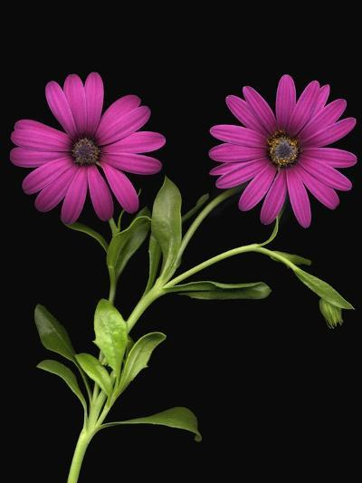 African Daisies--Photographic Print