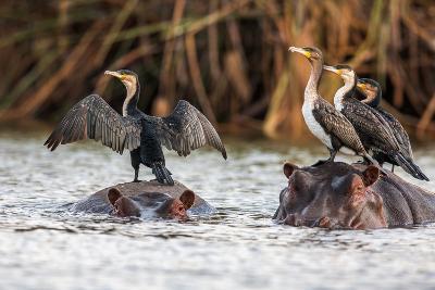 African Darter, Anhinga Rufa, Sitting on the Back of Hippopotamus,- sichkarenko com-Photographic Print