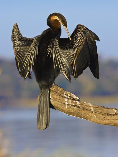 African Darter Preening Wings, Chobe National Park, Botswana-Tony Heald-Photographic Print