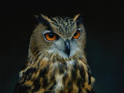 African Eagle Owl-Joel Sartore-Photographic Print