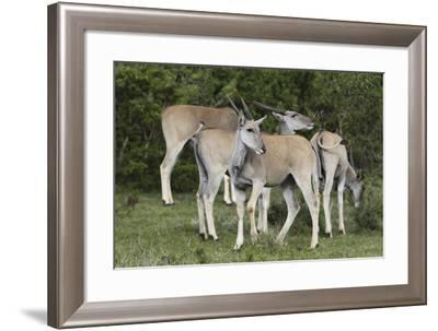 African Eland 10-Bob Langrish-Framed Photographic Print