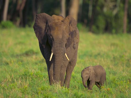 African Elephant and Calf in Grass-DLILLC-Photographic Print