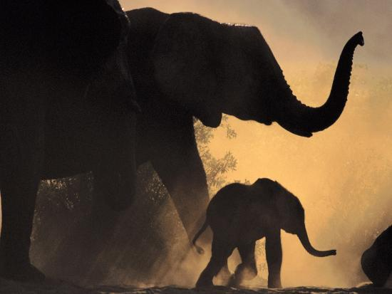 African Elephant and Young, Chobe National Park, Botswana-Frans Lanting-Photographic Print