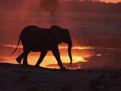 African Elephant, at Sunset Chobe National Park, Botswana-Tony Heald-Photographic Print