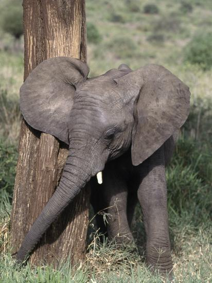 African Elephant Baby, Loxodonta Africana-D^ Robert Franz-Photographic Print