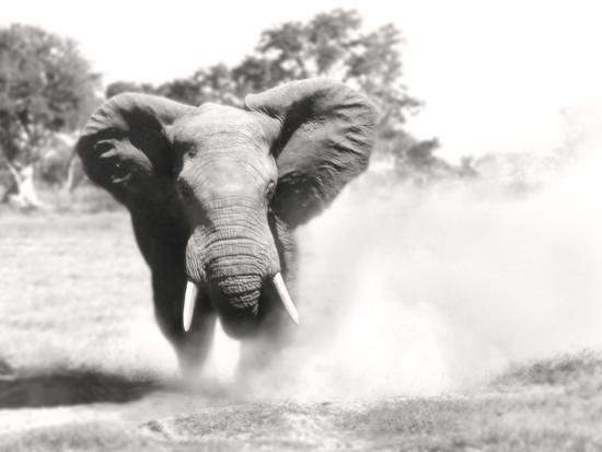 African Elephant Bull Displaying Aggressive Behaviour--Photographic Print