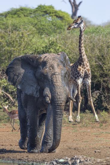 African Elephant Bull (Loxodonta Africana) at Waterhole with Giraffe, Kruger National Park, Africa-Ann & Steve Toon-Photographic Print