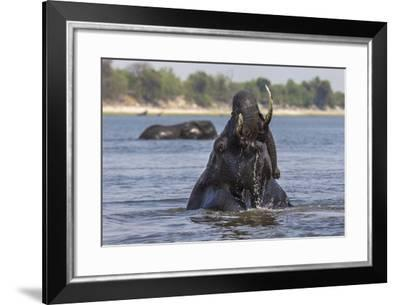 African Elephant Bull (Loxodonta Africana) Bathing in Chobe While Crossing River, Botswana, Africa-Ann & Steve Toon-Framed Photographic Print