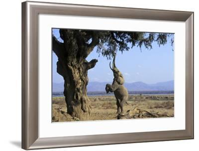 African Elephant Bull, on Hind Legs, Feeding--Framed Photographic Print