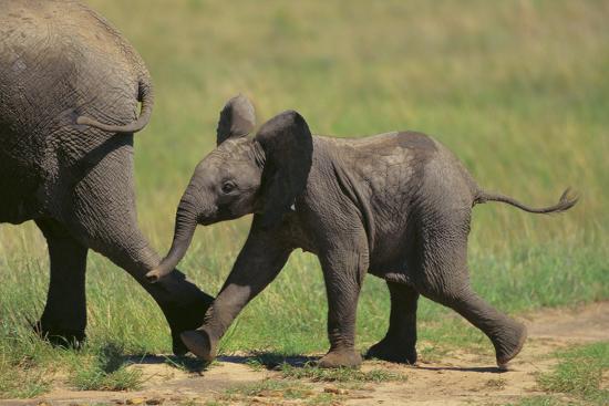 African Elephant Calf following Mother-DLILLC-Photographic Print