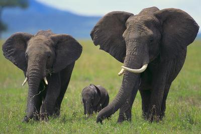 African Elephant Calf Walking between Adults-DLILLC-Photographic Print