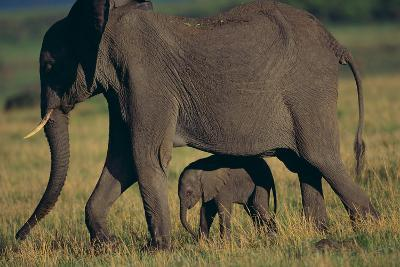 African Elephant Calf Walking underneath Mother-DLILLC-Photographic Print