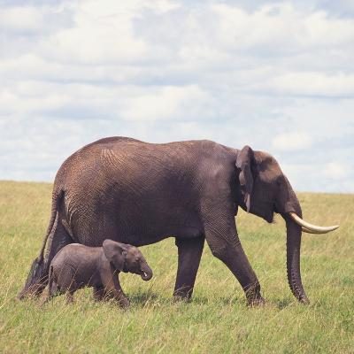 African Elephant Calf with Mother in Savanna--Photographic Print