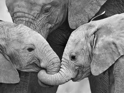 https://imgc.artprintimages.com/img/print/african-elephant-calves-loxodonta-africana-holding-trunks-tanzania_u-l-pxmvts0.jpg?p=0