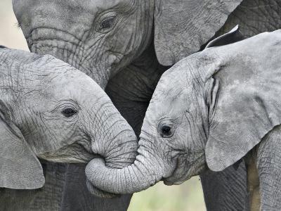 African Elephant Calves (Loxodonta Africana) Holding Trunks, Tanzania--Photographic Print