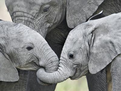 African Elephant Calves (Loxodonta Africana) Holding Trunks, Tanzania