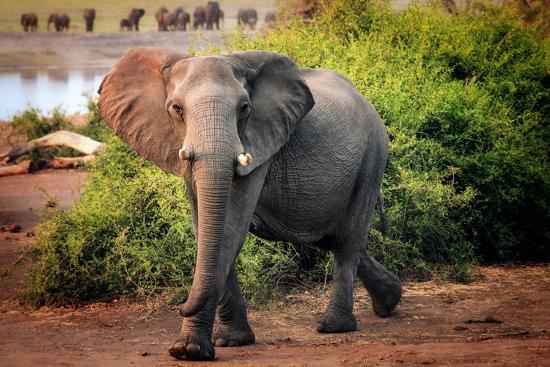 African elephant, Chobe National Park, Botswana, Africa-Karen Deakin-Photographic Print