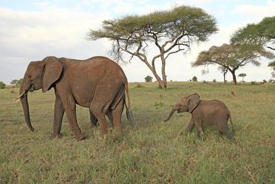 African Elephant Cow and Calf--Photographic Print