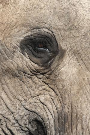 African Elephant Eye (Loxodonta Africana), Addo Elephant National Park, South Africa, Africa-Ann and Steve Toon-Photographic Print