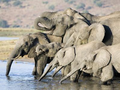 African Elephant, Family Drinking, Botswana-Mike Powles-Photographic Print