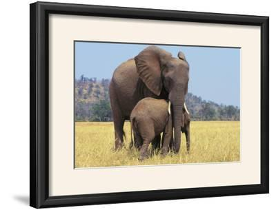 African Elephant Female, Cow with Young Calf--Framed Photographic Print