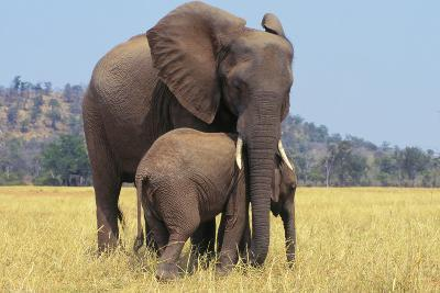 African Elephant Female, Cow with Young Calf--Photographic Print