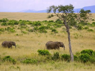 African Elephant Grazing in the Fields, Maasai Mara, Kenya-Joe Restuccia III-Photographic Print